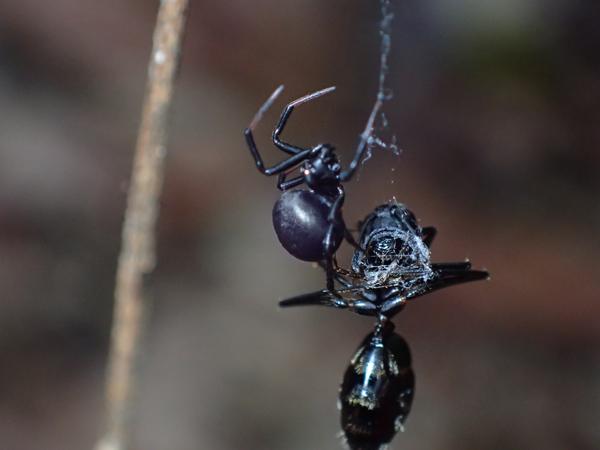 アリを襲うボカシミジングモ