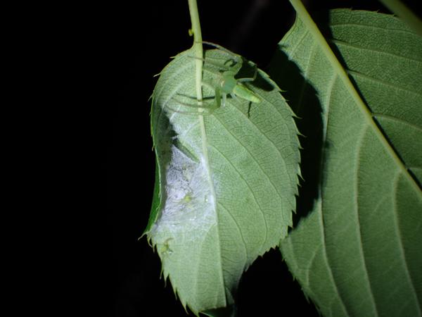 ワカバグモの出嚢