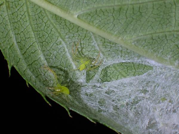 ワカバグモの幼体