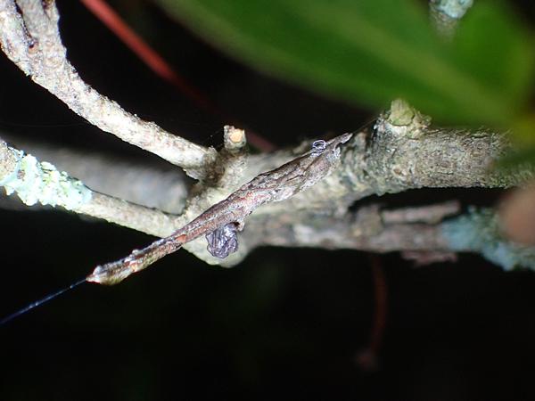 捕食中の母グモ