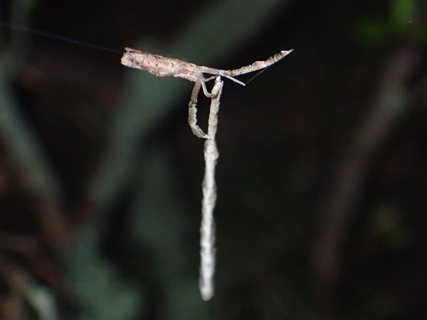 夜のマネキグモと卵のう