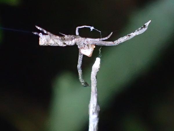 卵のうを守るマネキグモ
