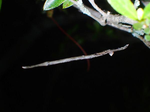 枯れ枝に擬態するマネキグモと卵のう