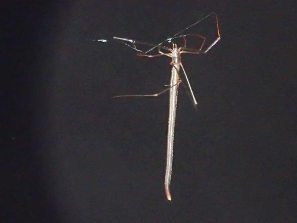 糸を出すオナガグモ