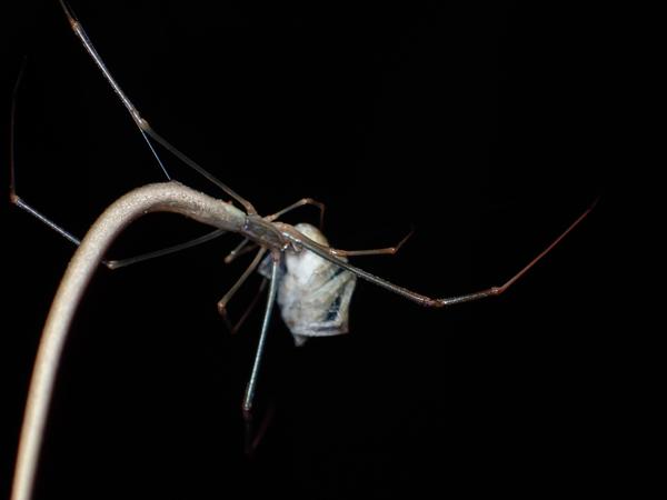 捕食中のオナガグモ♀