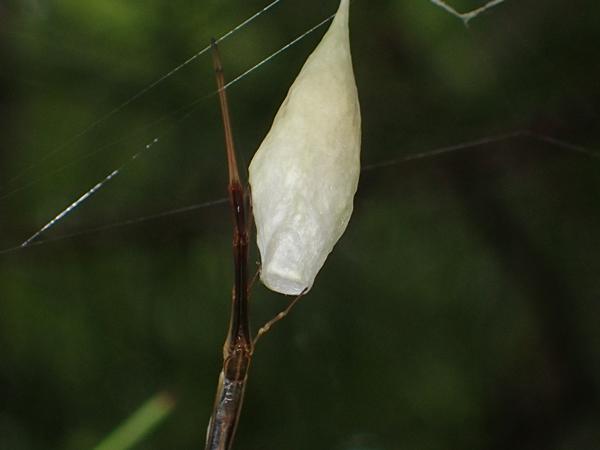オナガグモ卵のう完成