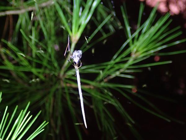 捕食中のオナガグモ