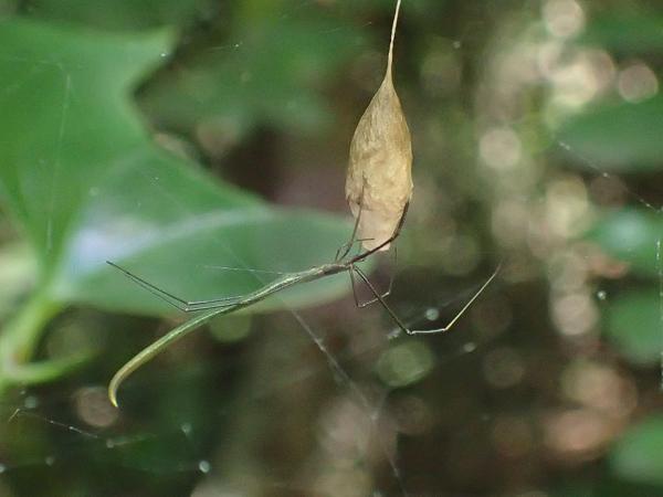卵のうを守る緑色のオナガグモ