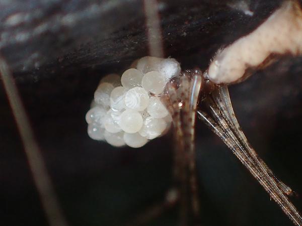 卵のうを守るユウレイグモ 孵化直前?