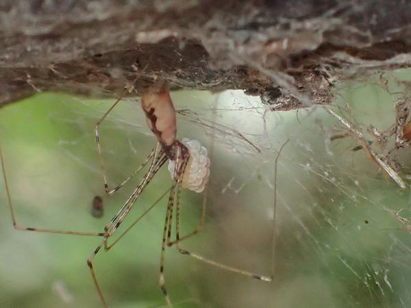 卵のうを守るユウレイグモ