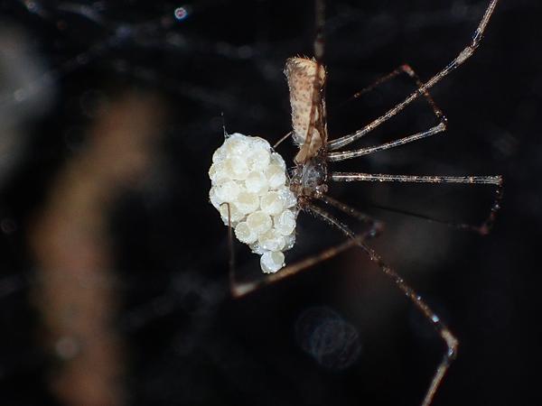 卵のうを掃除するユウレイグモ