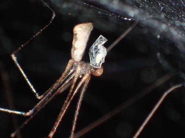 子グモを捕食するユウレイグモ♂
