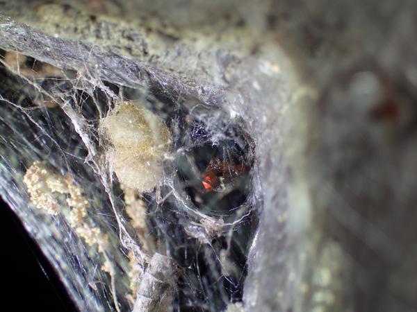 カレハヒメグモの住居