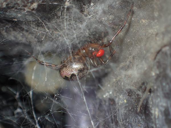 カレハヒメグモ