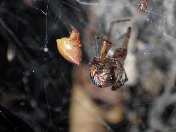 フタオイソウロウグモに襲われたカレハヒメグモ