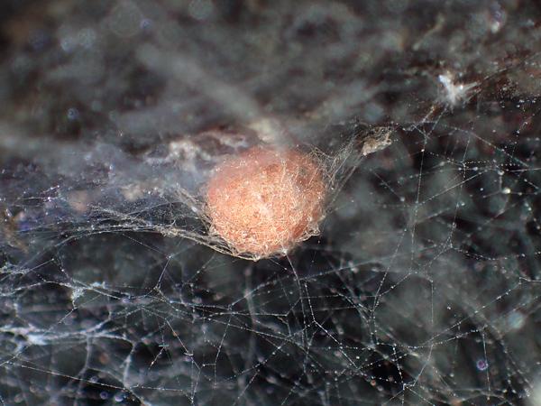 センショウグモの卵のう