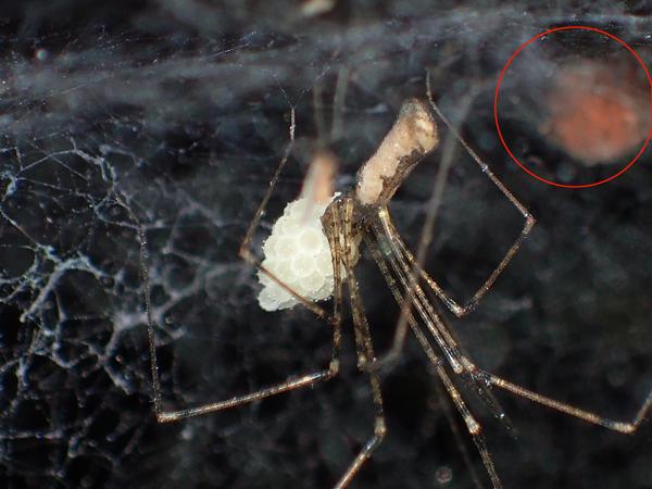 ユウレイグモのそばのセンショウグモの卵のう