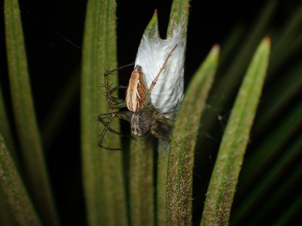 卵のうを守るササグモ