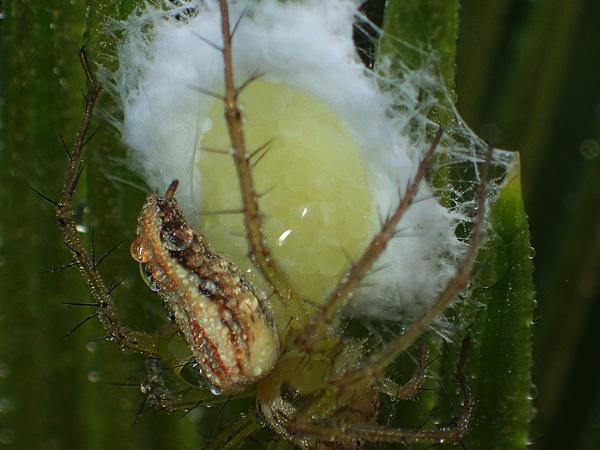 産卵中のササグモ