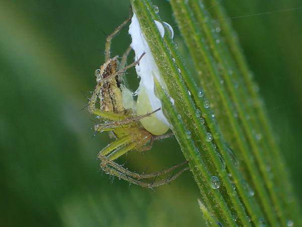 卵のうを作るササグモ