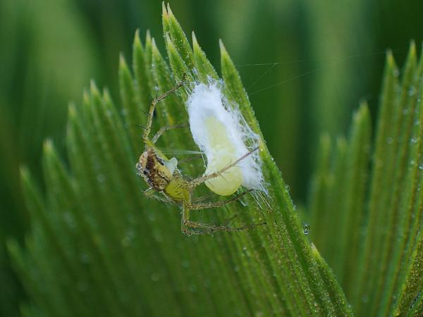 卵を包むササグモ
