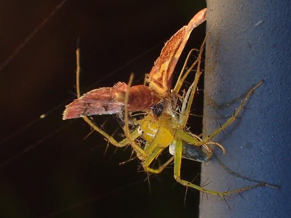 蛾を捕食中のササグモ♂