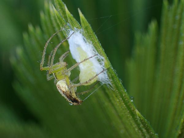 卵を糸で覆うササグモ