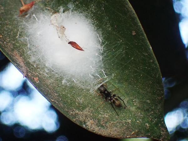 アリグモの卵のう