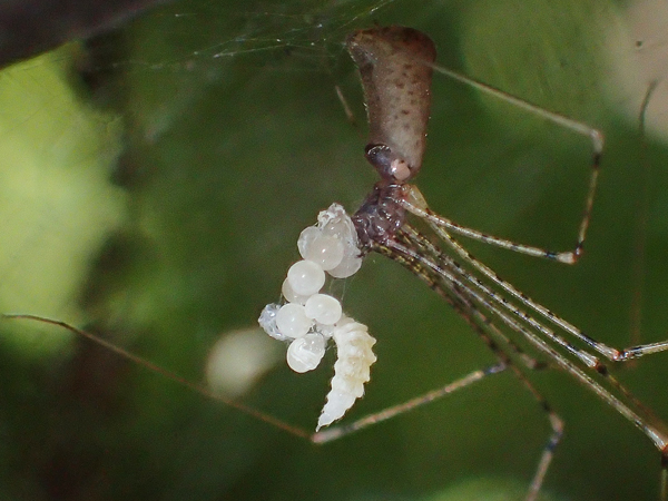 寄生されたユウレうグモの卵