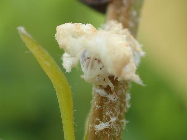 見たことがないハゴロモの幼虫