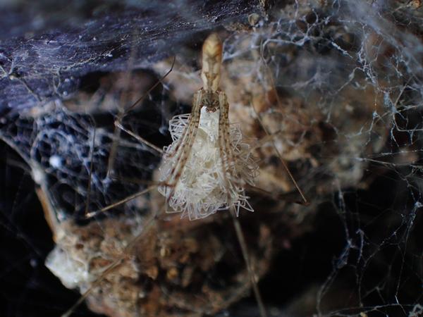 子グモを抱えるユウレイグモ
