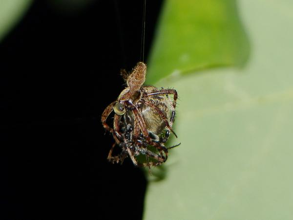 ヤマシロオニグモの交接
