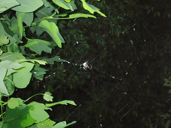 ヤマシロオニグモの網