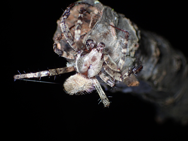 ヤマシロオニグモの♂