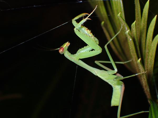 夜のムネアカハラビロカマキリ