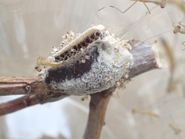 ムネアカハラビロカマキリの卵