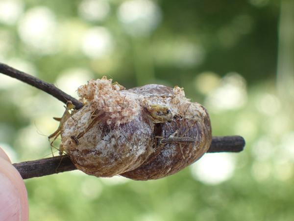 ハラビロカマキリの卵