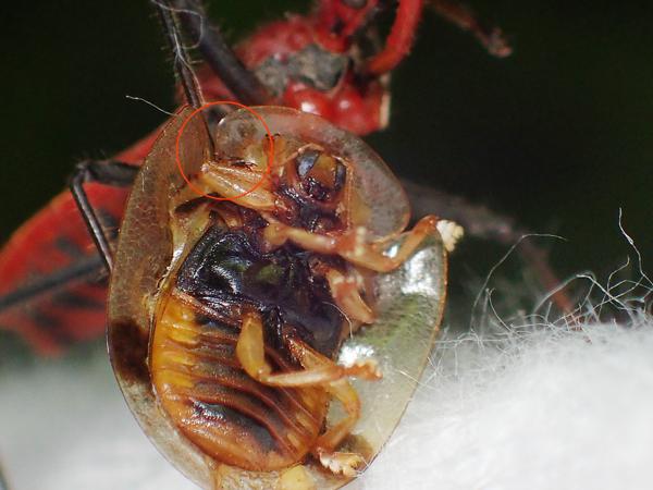 イチモンジカメノコハムシのお腹