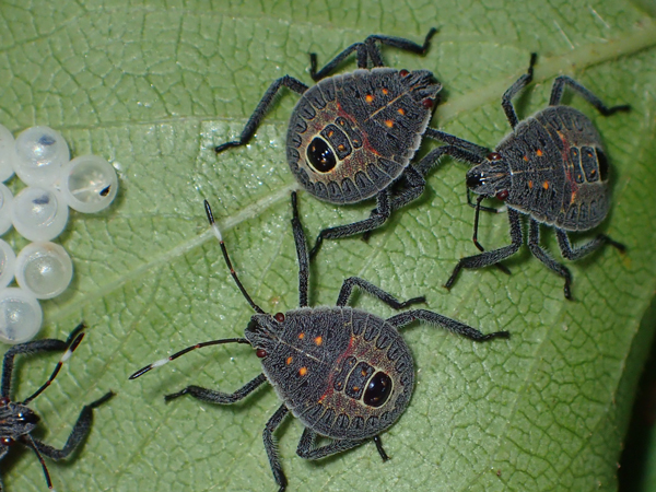 キマダラカメムシの幼虫