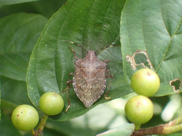 クサギカメムシの成虫