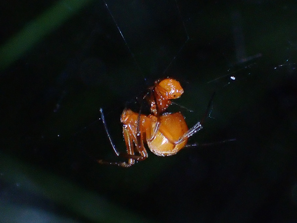 ヒメグモの交接