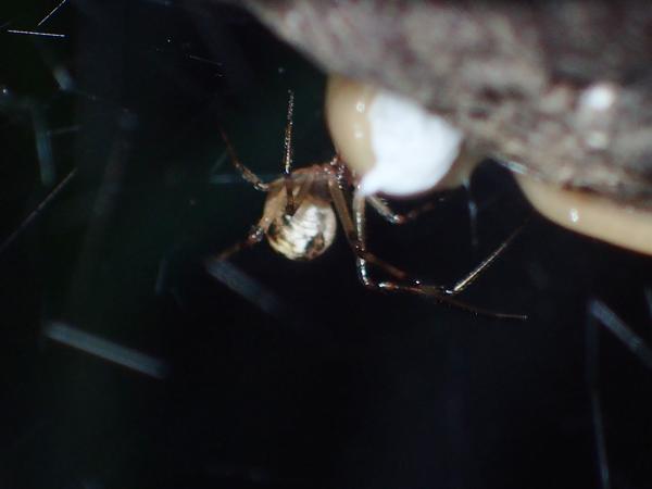 コウガイビルを攻撃するオオヒメグモ
