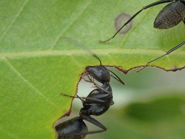 葉を食べるアリ