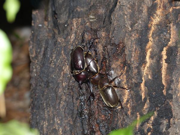 横恋慕するカブトムシ
