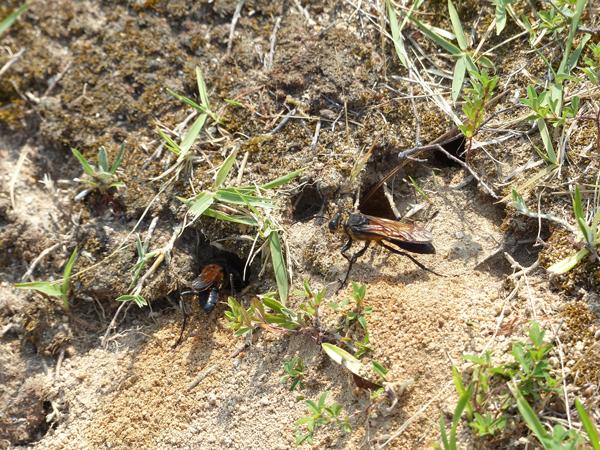 クロアナバチの穴掘り