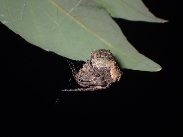 葉裏でぶら下がるゲホウグモ
