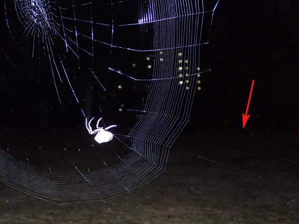 横糸を張るゲホウグモ