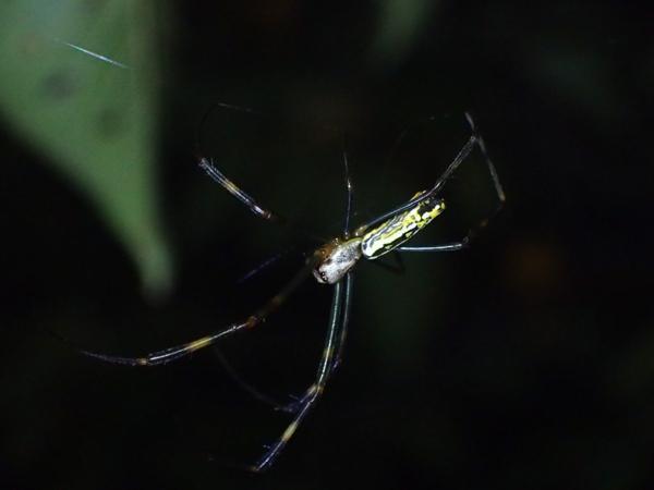 枝先にぶら下がるジョロウグモ