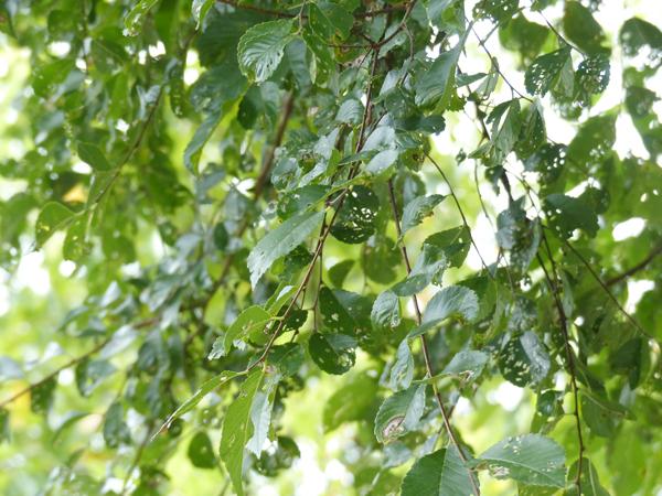 アキニレの葉