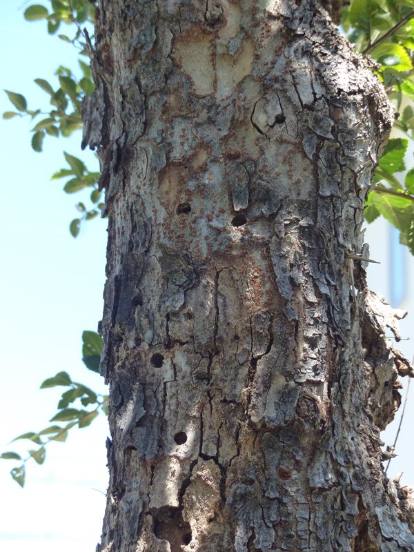 穴の開いたアキニレの木